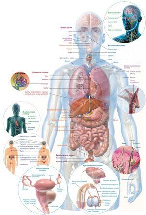 Внутриние органы человека