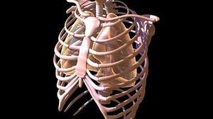 Ребра – строение, функции, переломы и трещины