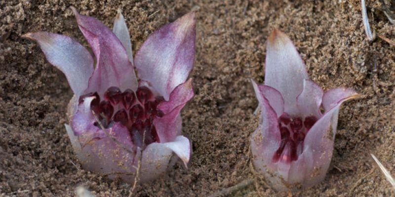 Удивительная орхидея, которая растет под землей - Новости Телеграф