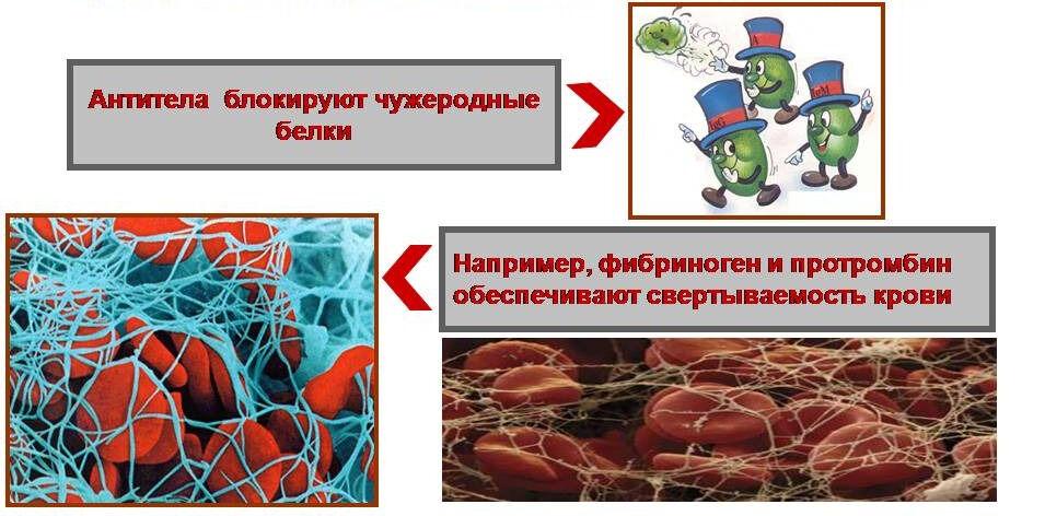 Функции белков - Презентации по биологии