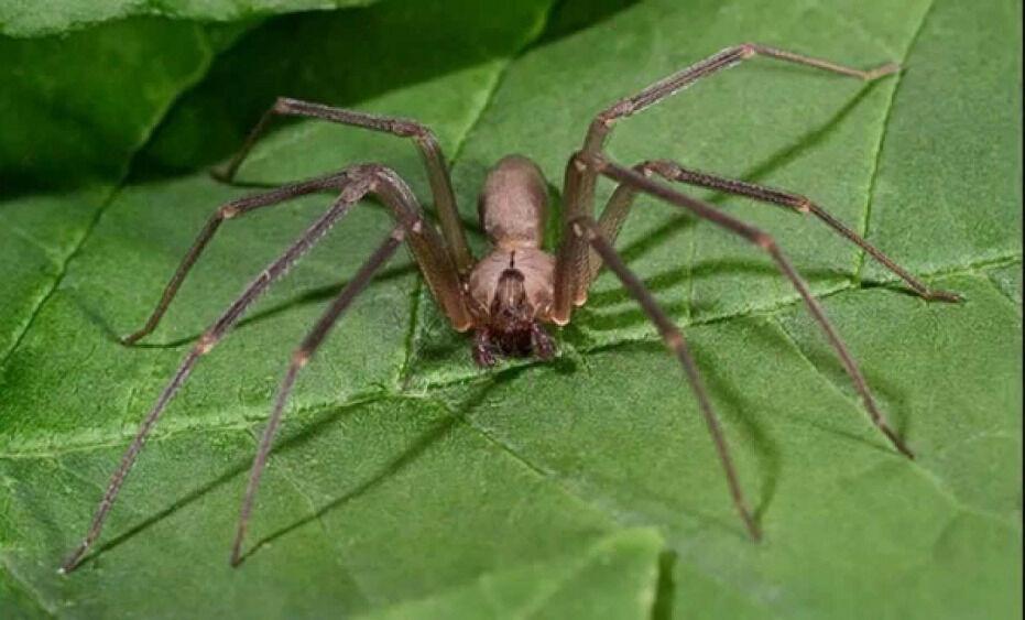 Коричневый паук-отшельник может быть особо опасным для детей : Наука ...
