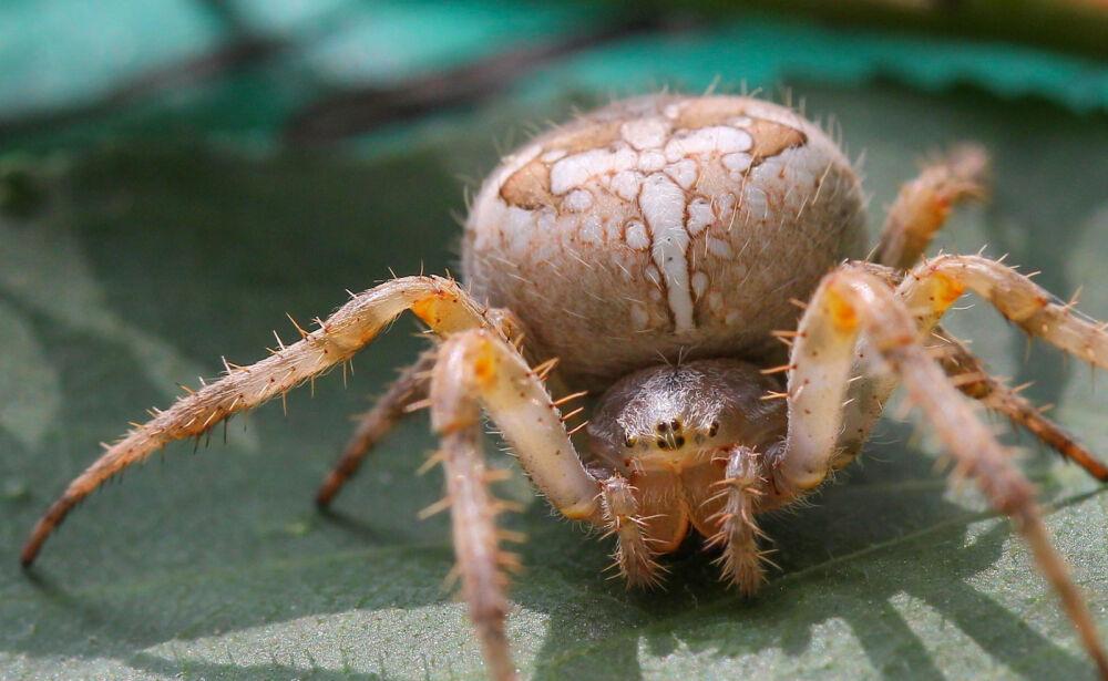 Паук крестовик | Что говорят насекомые