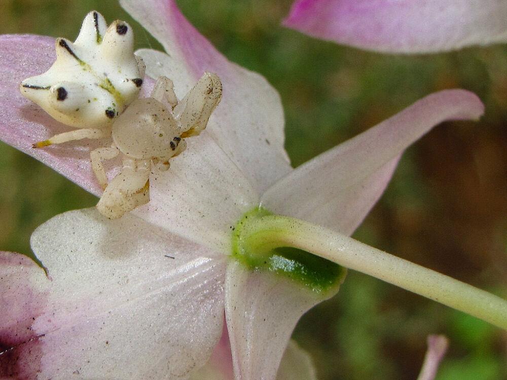 Пауки-бокоходы (лат. Thomisidae)