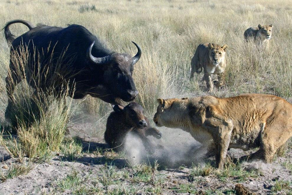 охота львов