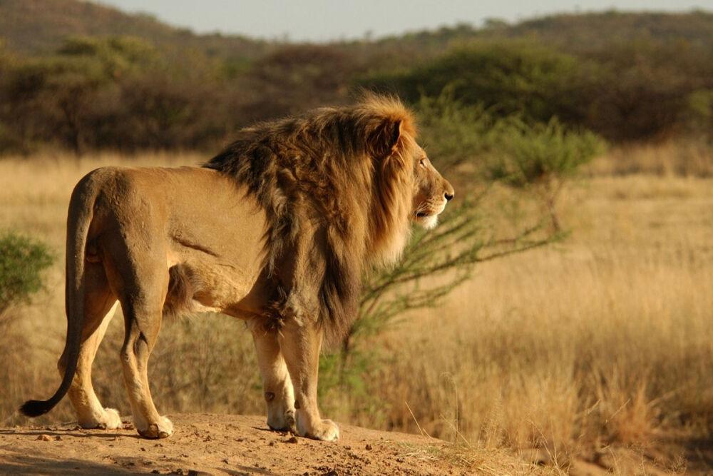 200 тыс лет назад в Африке обитали львы, не уступающие ростом ...
