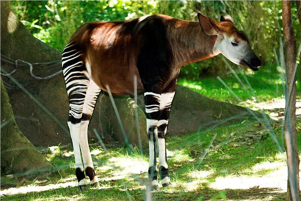 Окапи или «лесной жираф» (лат. Okapia johnstoni) — Интересные животные