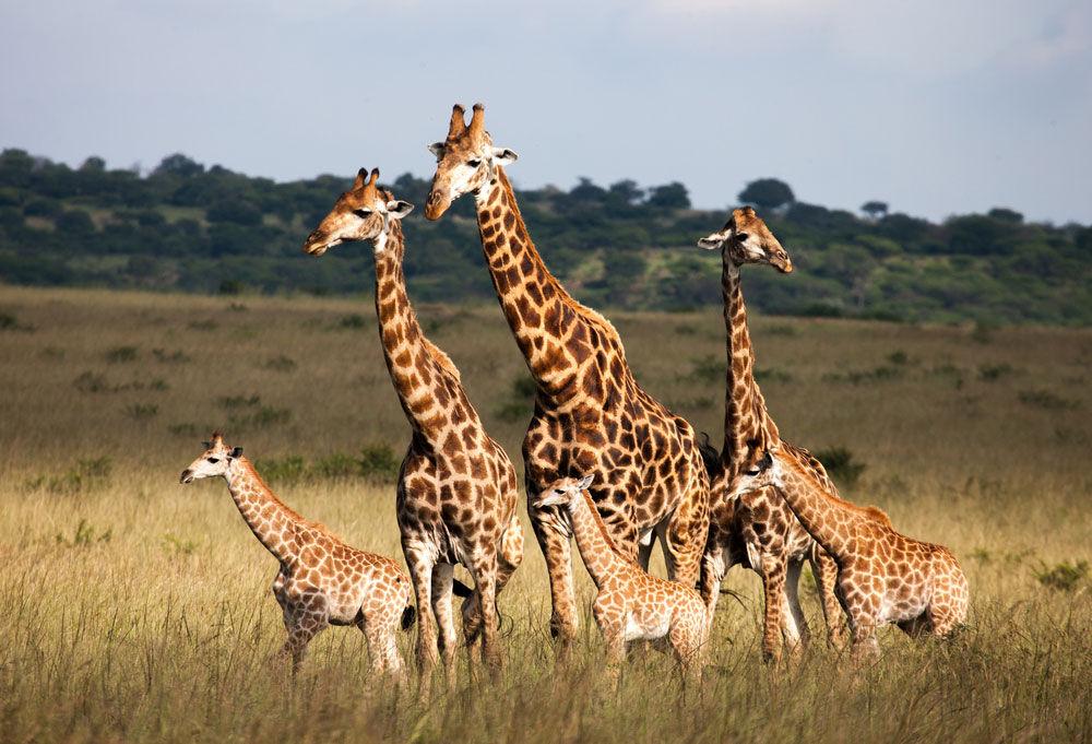 Жирафы оказались под угрозой вымирания | Новости | Вокруг Света