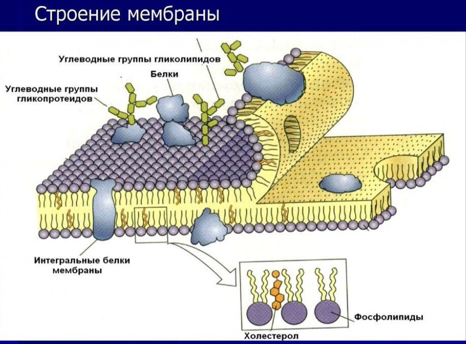 строение цитоплазматической мембраны