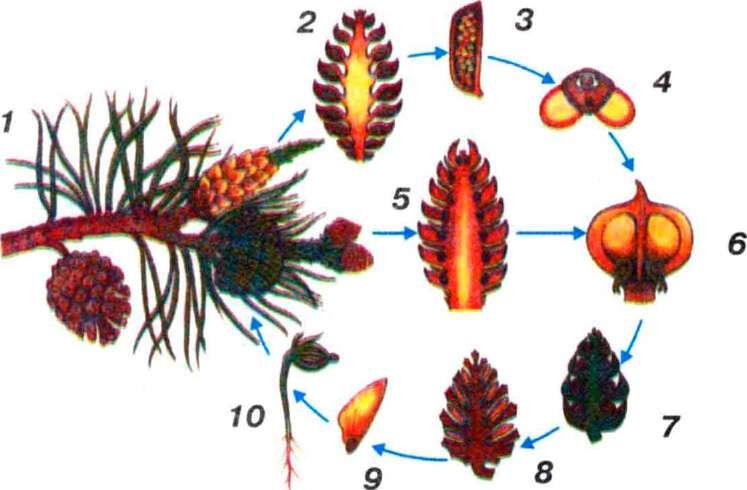 какие растения относятся к хвойным