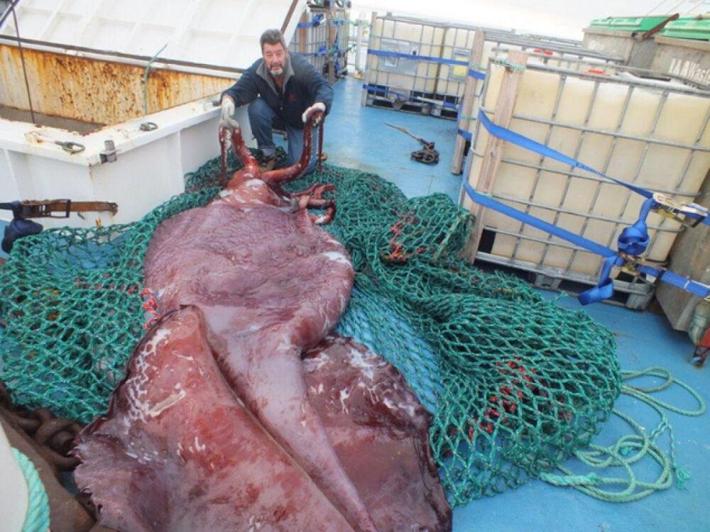 Гигантский кальмар размером с микроавтобус пойман в море Росса ...