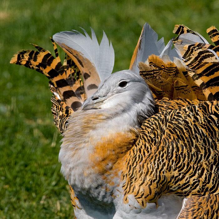 Дрофа – степная крупная птица. » Дикая граница