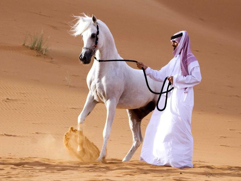 Арабы - для себя » Сайт о лошадях KoHuKu.ru