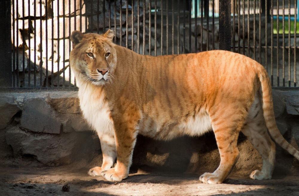 почему лев царь зверей