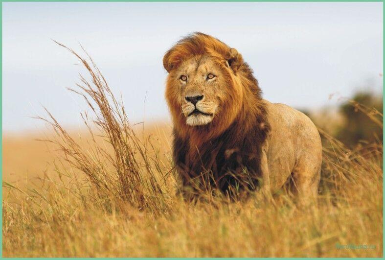 Лев, все о львах, про львов, лев животное, лев описание, лев африканский