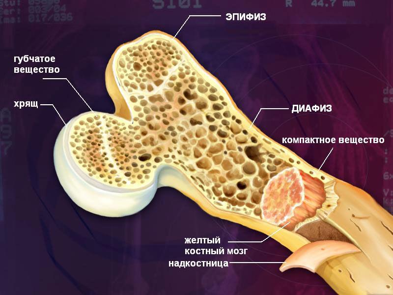Химический состав костей