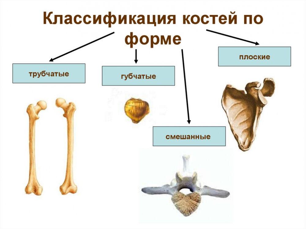 Кости и их соединения. (Лекция 5) - презентация онлайн