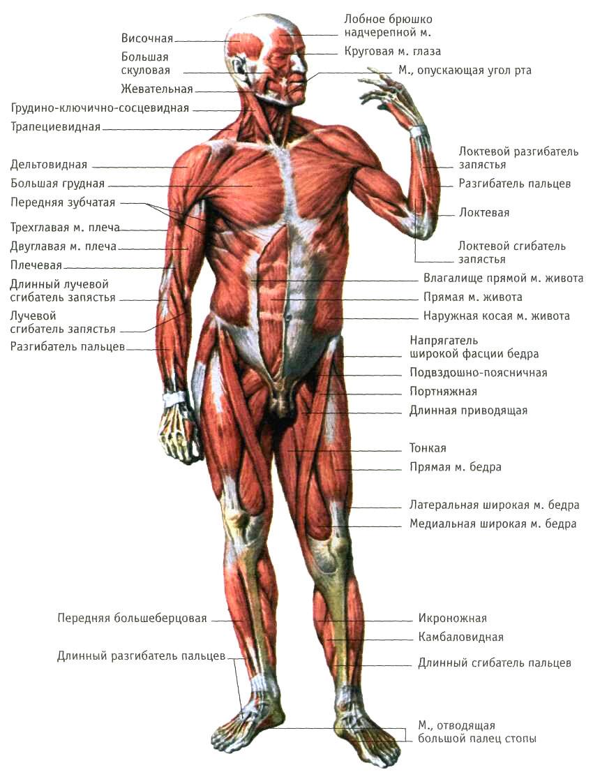 Мышцы тела человека (вид спереди)