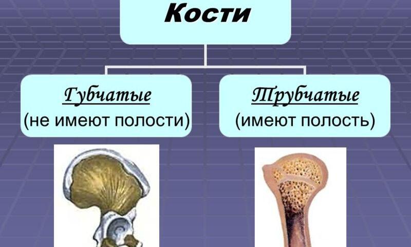 Презентация на тему: Строение и соединение костей. Кость – орган ...