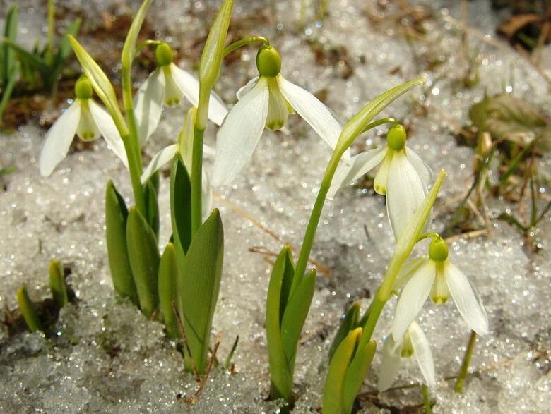 Galanthus platyphyllus - Изображение растения - Плантариум