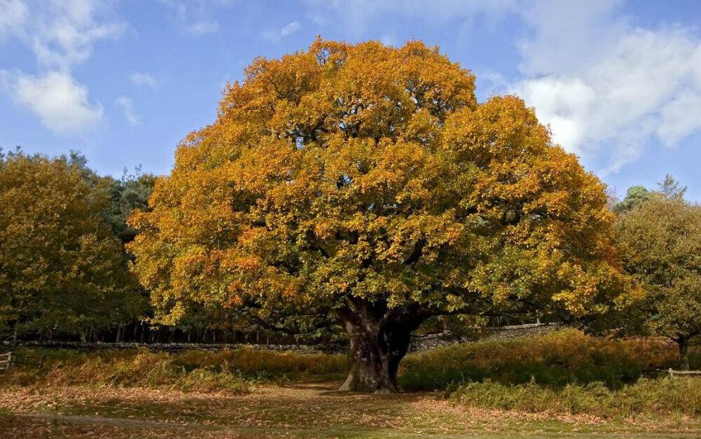 Дуб – описание, виды, кора дуба, полезные свойства