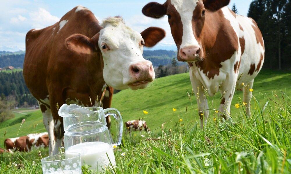 Почему у коровы нет молока: причины, пути решения