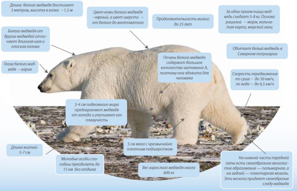 Белый медведь схема