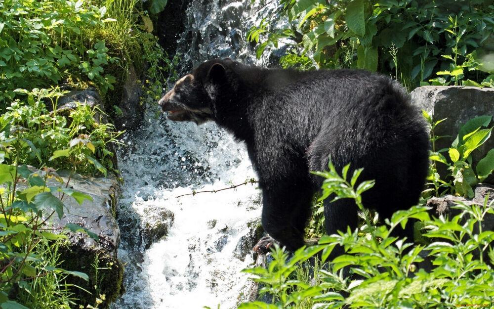 самый крупный медведь в мире