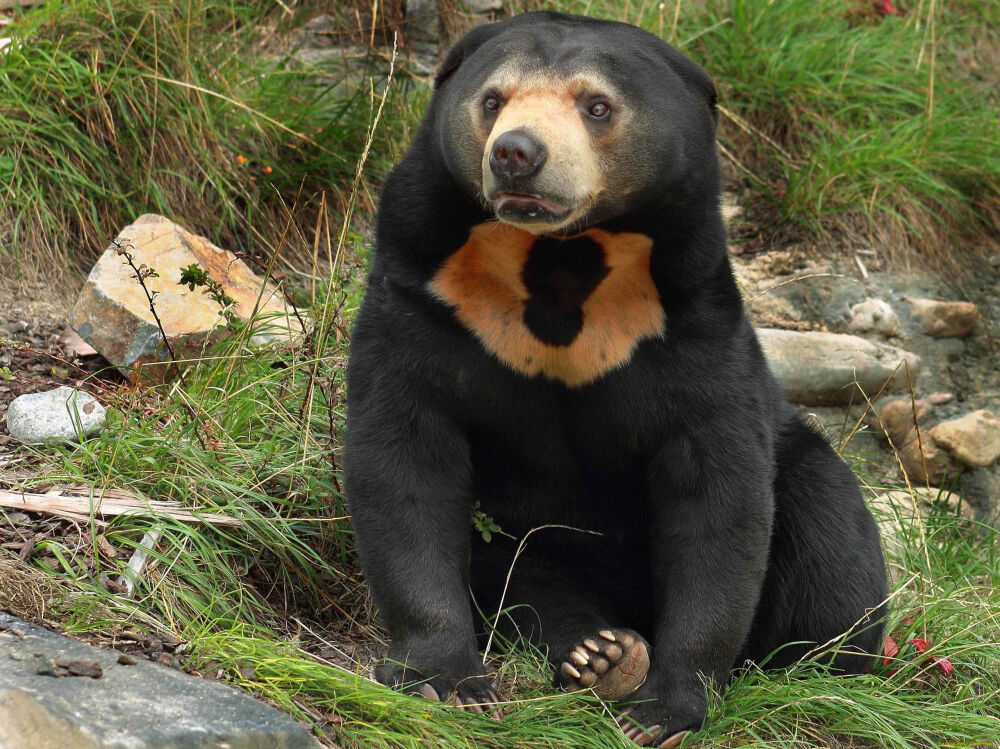 бурый медведь краткое описание
