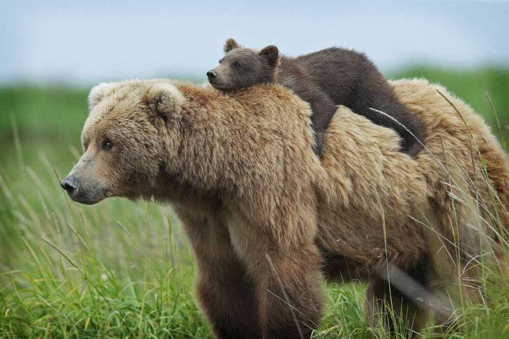 сообщение о медведе (главный ключ)
