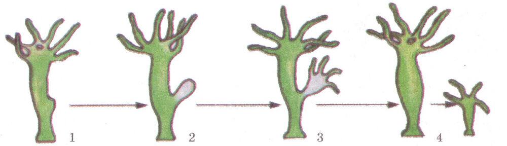 виды бесполого размножения (главный ключ)