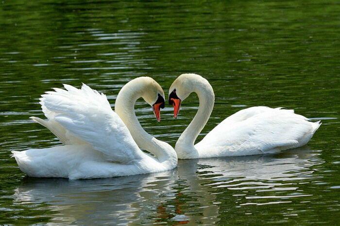 Сергей Есенин - Руки милой - пара лебедей.... Обсуждение на ...