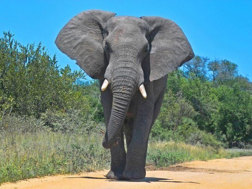 Краткая информация о слоне