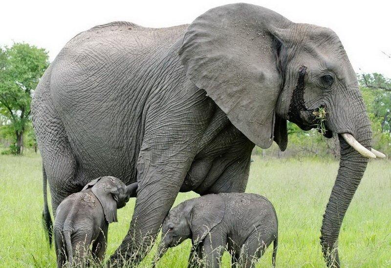 Слоны - их описание и жизнь. » Живая Земля - все о живом мире нашей ...
