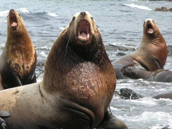 Сивуч или северный морской лев – описание, фото, видео. » Дикая граница