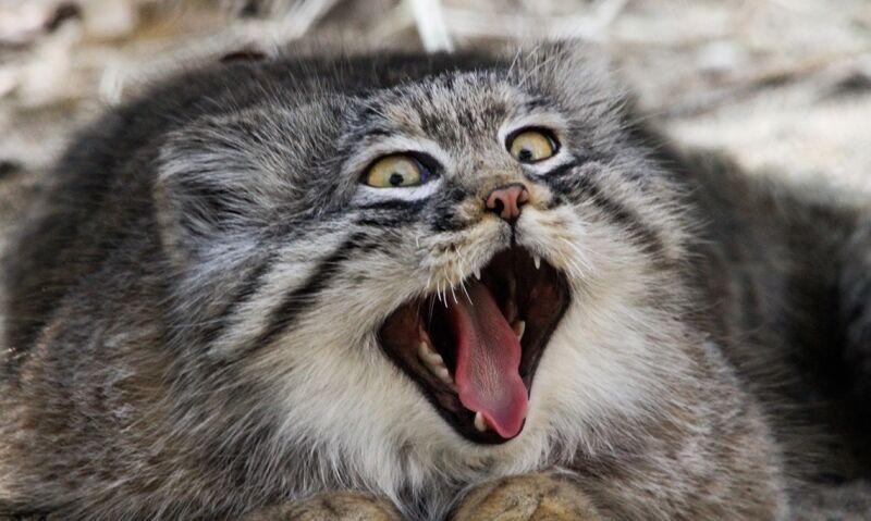 Кот манул (55 фото): как выглядит, степной, сибирский, дикий ...