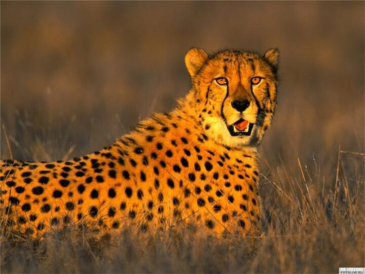 Гепа́рд, или азиатский гепард, или охотничий леопард, или чита ...