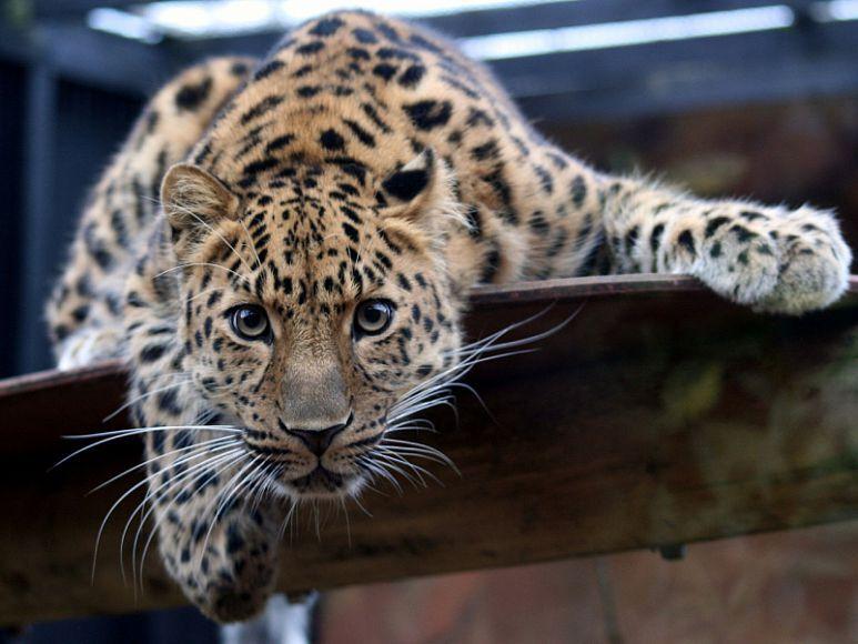 Дальневосточные леопарды: самые редкие дикие кошки — National ...