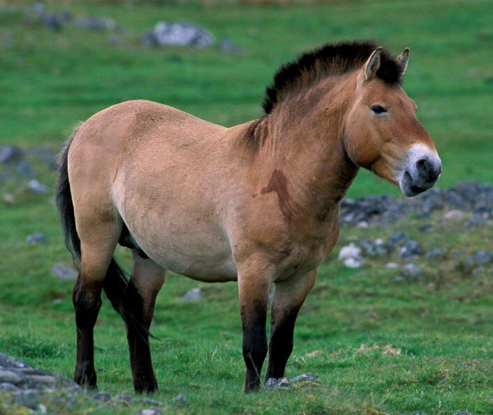 Чем интересна лошадь Пржевальского - описание животного, какие факты ...