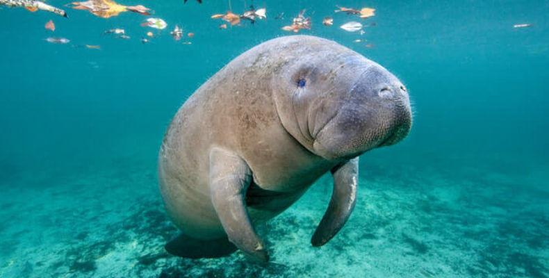 Морская корова-утраченный вид. Почему вымерла Стеллерова корова