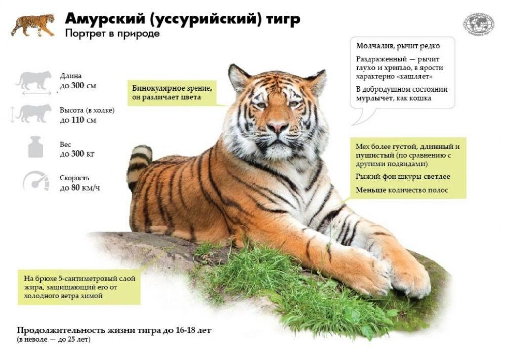рассказ о тигре