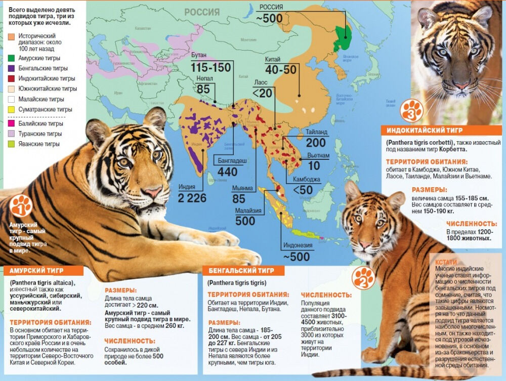 тигр фото животного