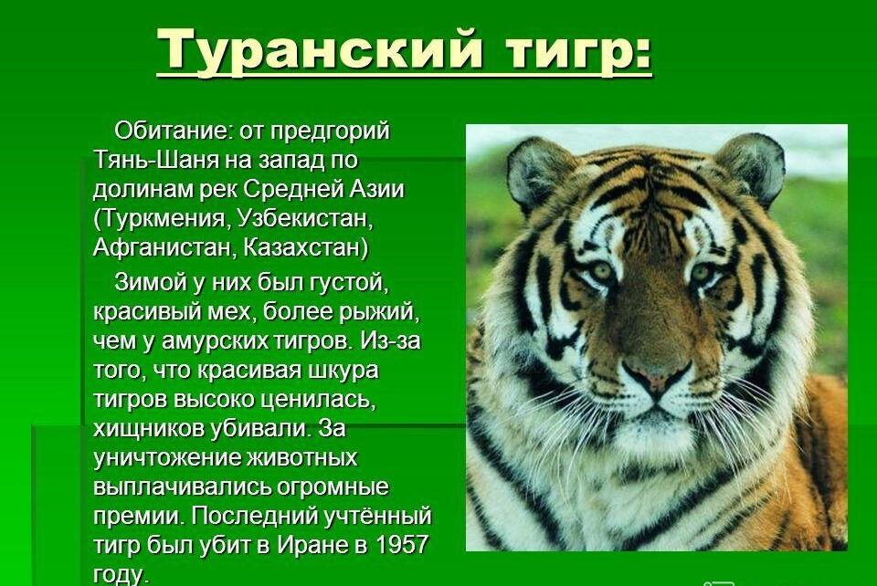 уссурийский тигр 4 буквы сканворд