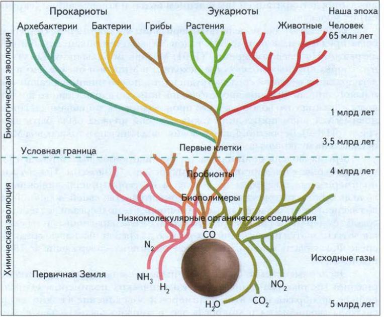Этапы возникновения жизни на Земле   Биология