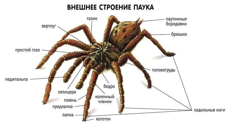 кровеносная система паукообразных