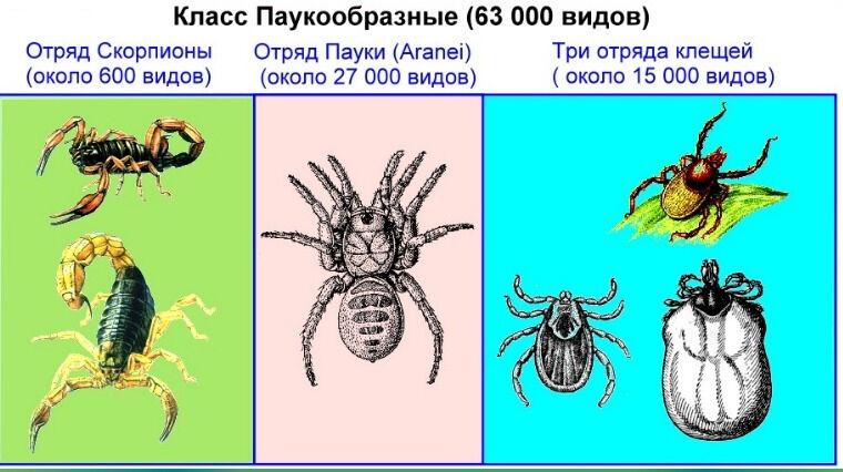 Презентация по биологии на тему «Паукообразные»