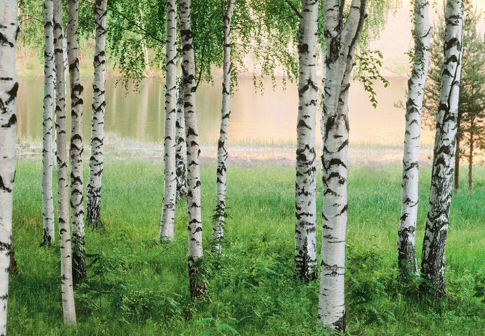 Фотообои в интерьере: природа, Березовая роща №290 купить по цене 66 ...