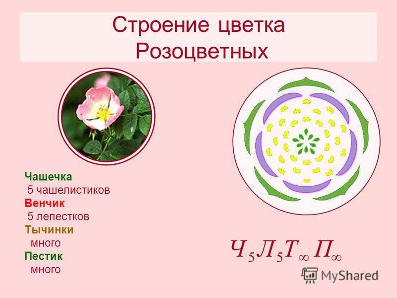 Тип плода розы