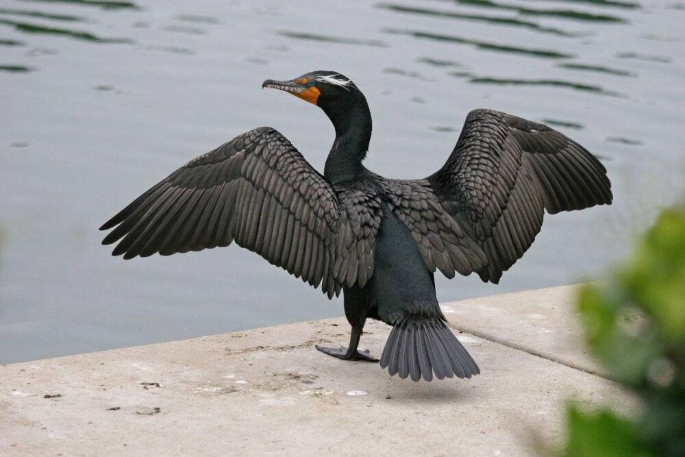 Баклан птица – описание, виды, где обитает, питается, фото