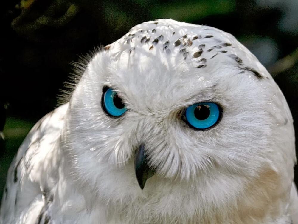 Полярная сова (Белая сова): интересные факты, фото и краткое ...