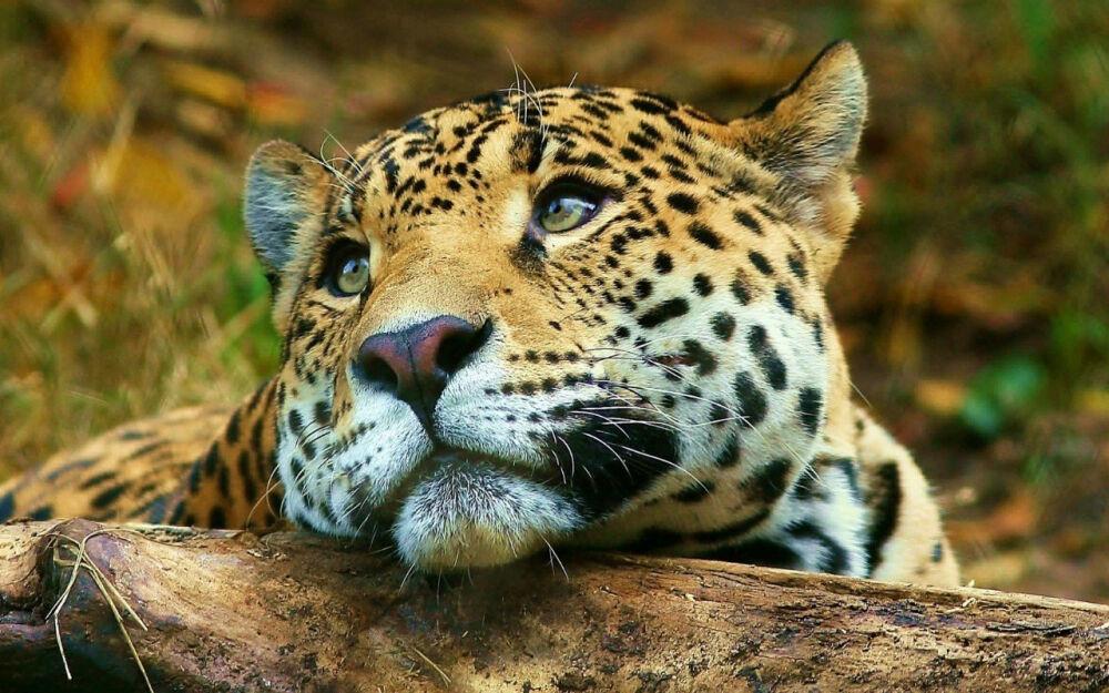 Дальневосточный леопард России. Дальневосточный леопард (Panthera ...